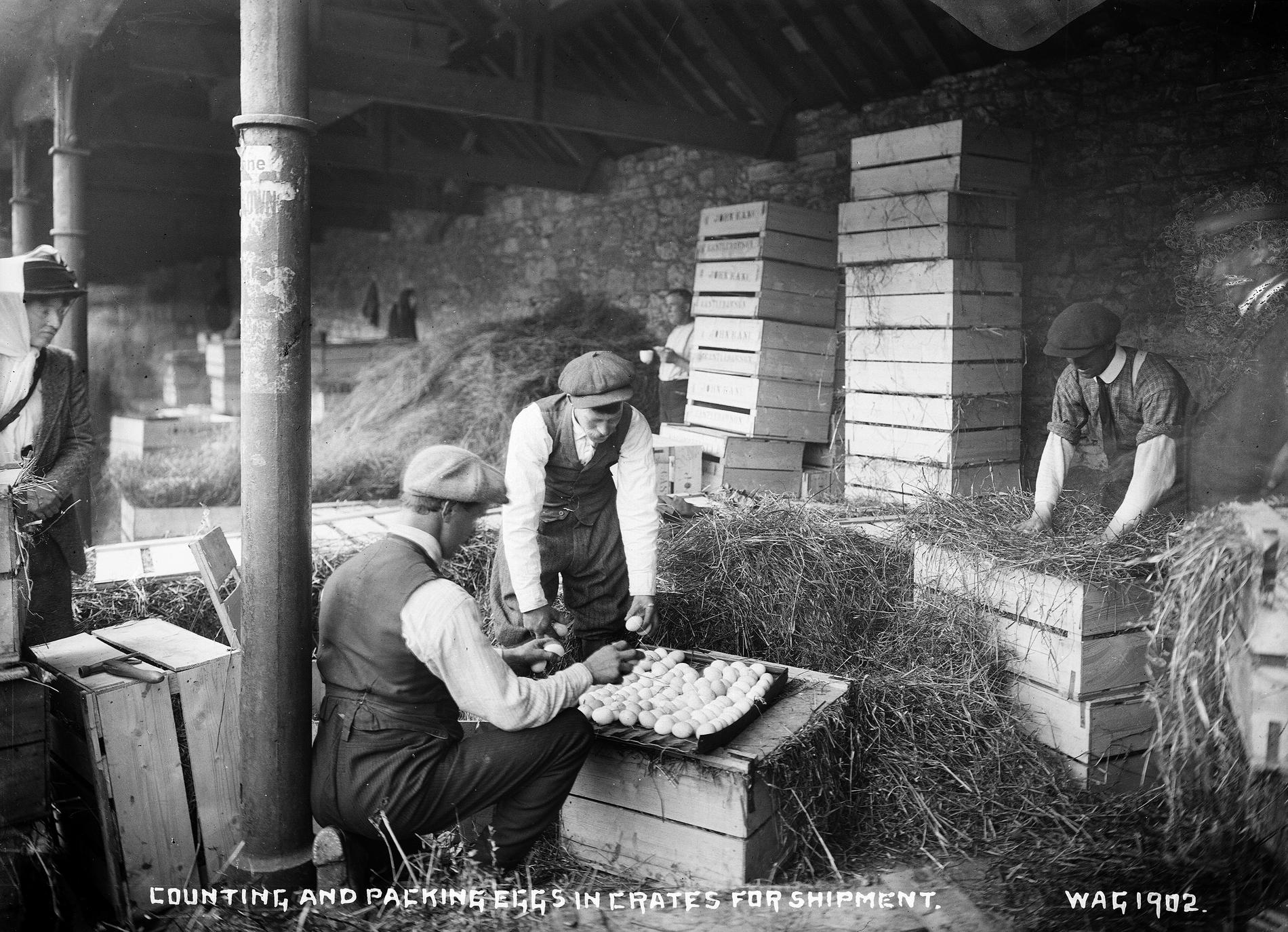 COUNTING AND PACKING EGGS IN CRATES FOR SHIPMENT (Photograph; glass plate negative)